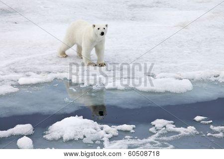 Polar bear in natural environment