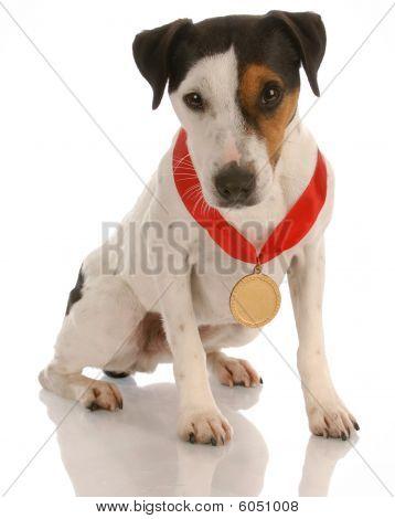 jack russel terrier dog sitting wearing prize winning medal poster