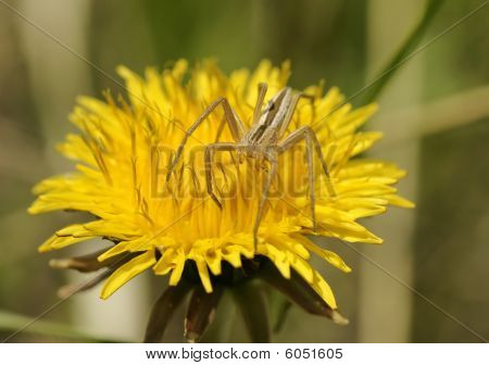 Dandelion and a spider.
