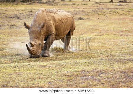 Rhinocerous With Horn Grazing