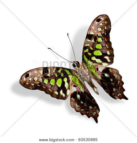 Beautiful Tailed Jay Butterfly (graphium Agamemnon) Lower Wing Profile In Natural Color Isolated On