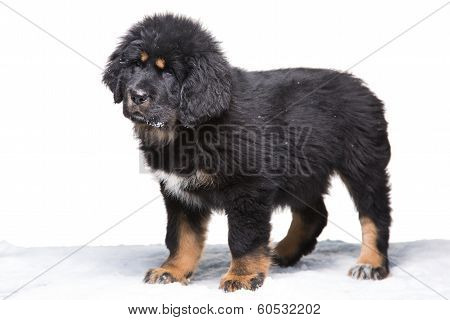 Little Security Guard - Black And White Puppy Of Tibetan Mastiff