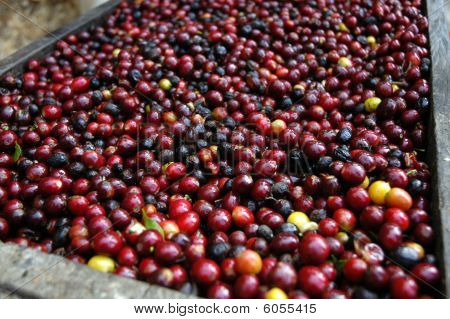 Granos de café - Guatemala