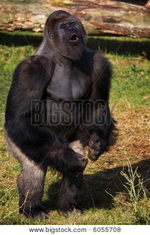 Standing Silverback Gorilla Showing His Power
