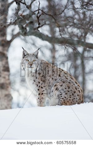 A european lynx sits in the snow. Cold winter, February, Norway. poster