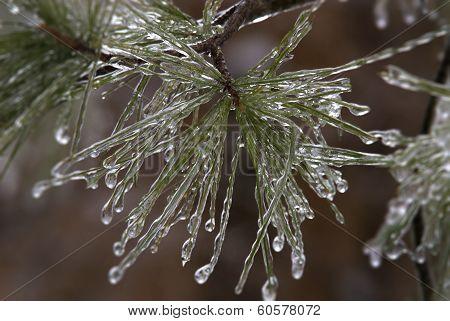 ice-coated pine needles