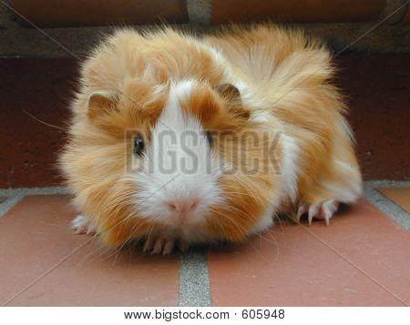 Baby Peruvian Guinea Pig