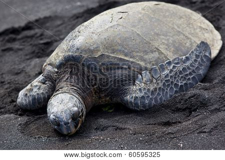 A green sea turtle suns itself on the lava beach on the Big Island of Hawaii. poster
