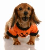 long haired miniature dachshund wearing pumpkin sweater with saucy attitude poster