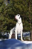 Harlequin great dane in the winter forest poster