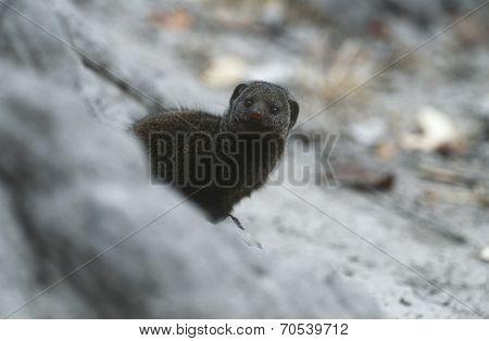 Dwarf Mongoose (Helogale parvula), selective focus poster