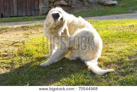 Golden retriever dog scratching himself in the garden poster