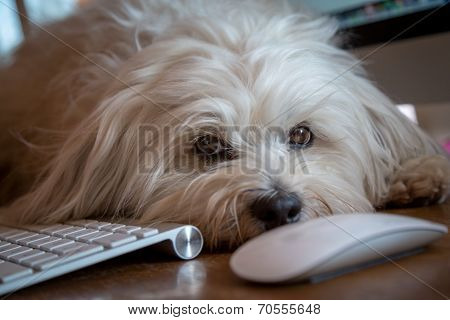 Dog Lying On The Desk