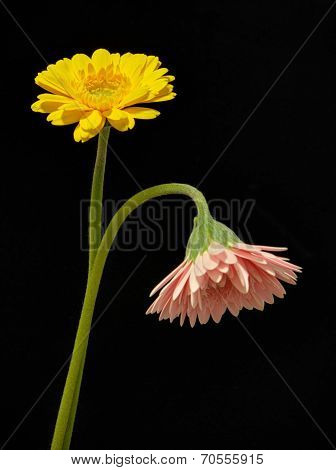 Yellow and pink gerbera daisy flowers