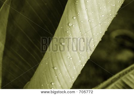 Sepia Banana Leaf
