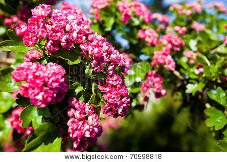 Bloosoming Pink Flowers Of Hawthorn Tree