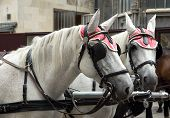 Carriage horses at Stephansdom Cathedral in Vienna Austria. poster