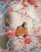 American robin feeding in a berry tree on cold winter day poster
