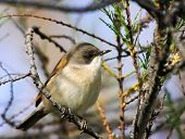 A Garden Warbler bird seating on a tree branch. poster