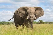 Portrait: African elephant in the rainy season in South Africa. poster