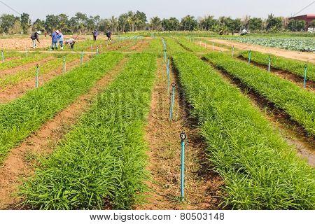 Ipomoea Aquatica  Plant Field On Ground In Garden.