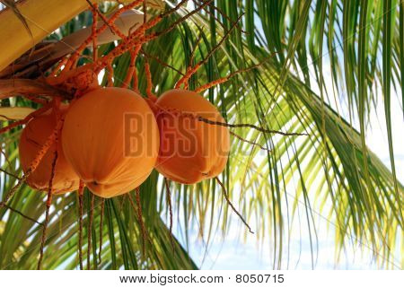 Palm Tree Coconuts