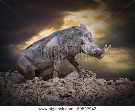 The Warthog (Phacochoerus africanus) in a mud. Dangerous african mammal.