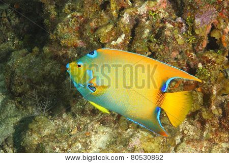 Queen Angelfish On A Coral Reef