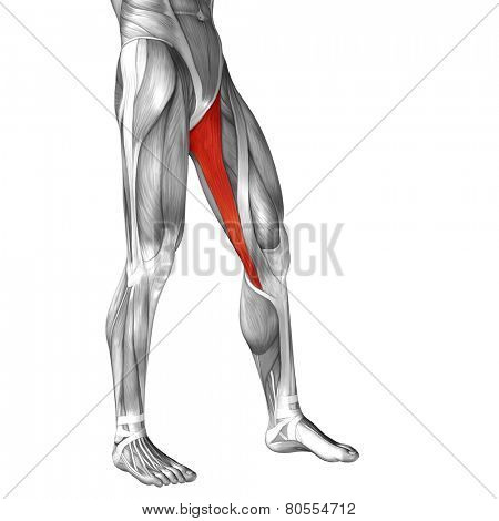 Concept or conceptual 3D gracilis human upper leg anatomy or anatomical and muscle isolated on white background poster