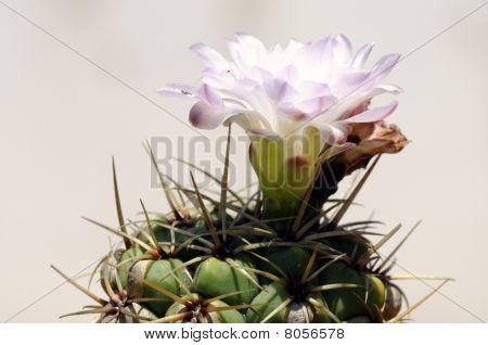Die Kaktusblüte
