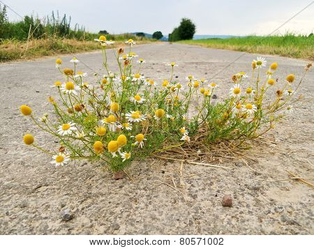 Chamomile From The Asphalt