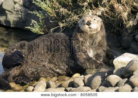 Sea Otter on Rocks