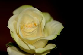 Yellow Miniature Rose