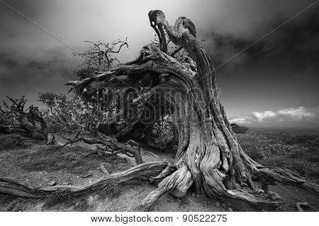 Battle Dragons. Old juniper tree El Sabinar of El Hierro island. Canary Islands