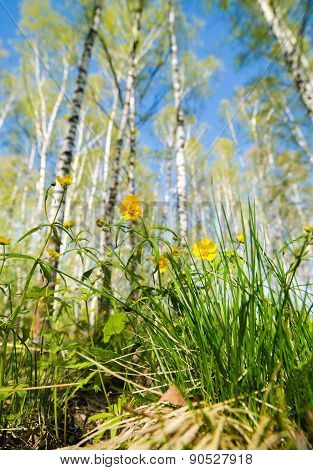 yellow flowers in a birch forest