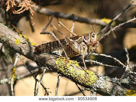 Grasshopper On Trunk