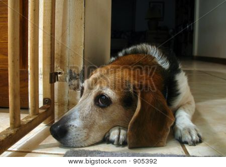 a 10-year-old female beagle waiting patiently for attention. poster
