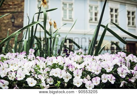 Colorful Pansies And Old House In Gyor City