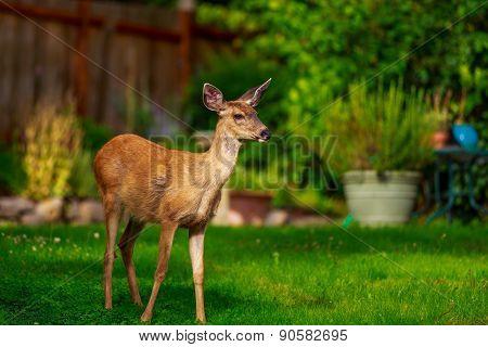 Mule Deer In Backyard