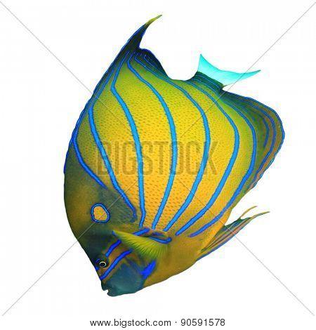 Tropical fish isolated: Blue-ringed Angelfish on white background