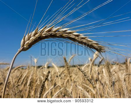 a field of grain (wheat) just before the harvest. cornfields in summer.
