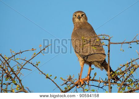 Beautiful Dark Chanting Goshawk Female Sit On Perch