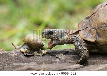 A Hinge Tortoise Form Malawi Attacking A Giant African Land Snail