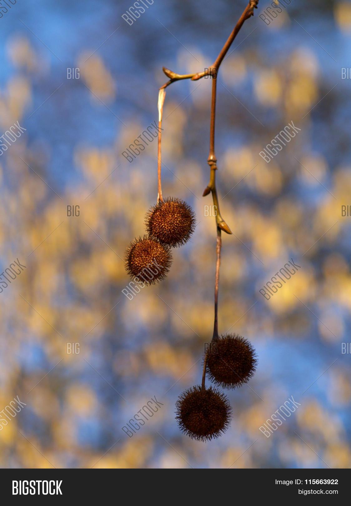 Seed Ball Plane Tree Image & Photo (Free Trial)   Bigstock