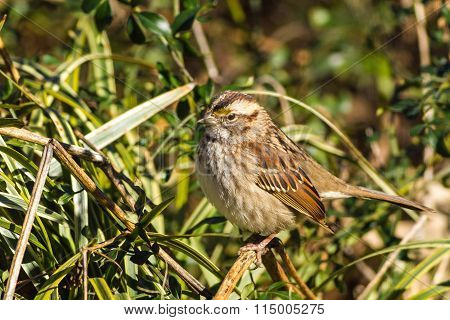 White-throated Sparrow  (zonotrichia Albicollis) Perched On Vines