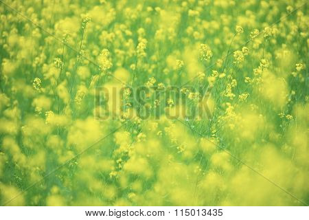 Filed of rapeseed (Brassica napus), also known as rape, rapa, rappi, rapaseed, mustard or Canola flower. Intentionally shot with extremely shallow depth of field for dreamy feel.