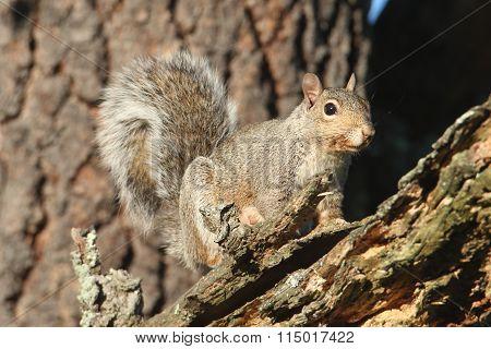 Gray Squirrel (sciurus Carolinensis)