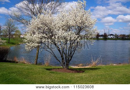 Serviceberry Bush in Bloom