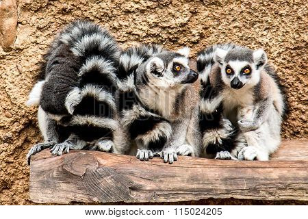 Three ringtails hanging out