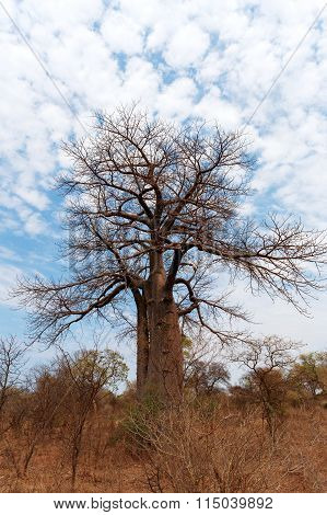 Lonely Old Baobab Tree